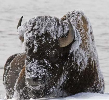 drunk-bison1