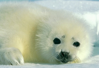 harp-seal-baby2