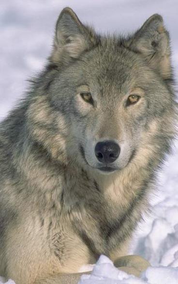 nice-wolf-11