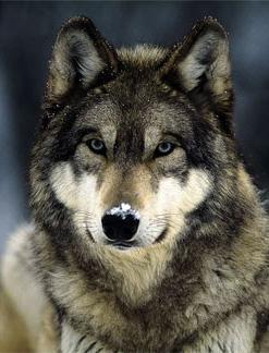 nice-wolf-2