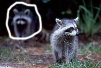 not-mrs-raccoon