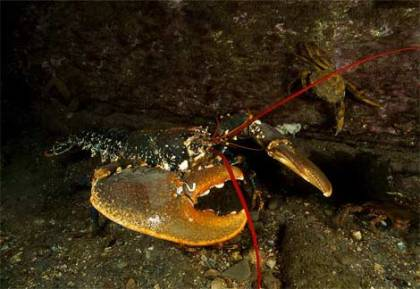 ny_lobster