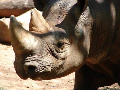ny_rhino