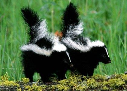skunkbabies