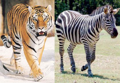 tigerzebra
