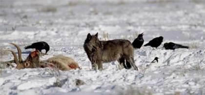wolf-n-moose