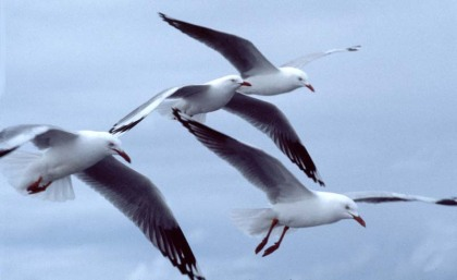 32-silver-gulls-by-chris