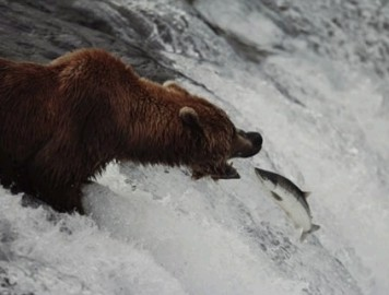 bear_and_salmon