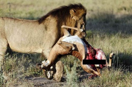 lion-eating-copy