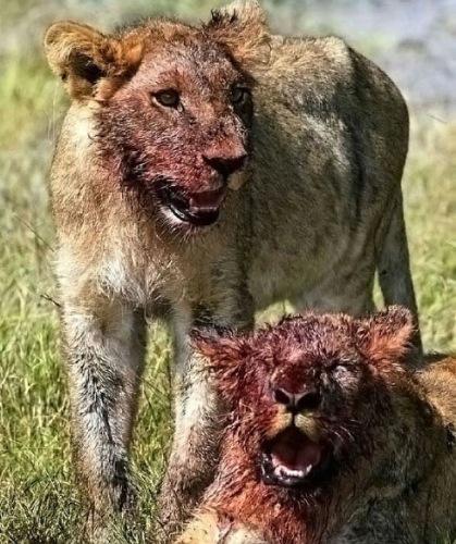 lion-joke