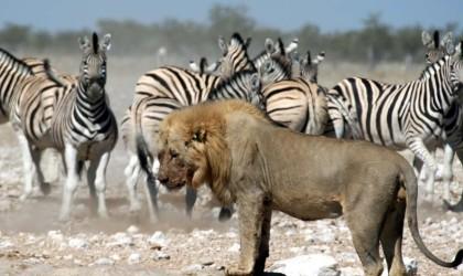 lent-lion1