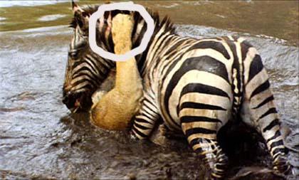 mrs-zebra1